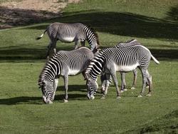 A small herd of Grevy's zebra, Equus grevyi, grazes on green grass