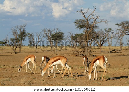 A small herd of springbok antelopes (Antidorcas marsupialis) grazing, Kalahari desert, South Africa - stock photo
