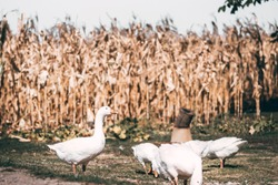 A small herd of white country geese graze in a green meadow. Village life and its feathered inhabitants. Beautiful white geese with an orange beak nibble the grass.