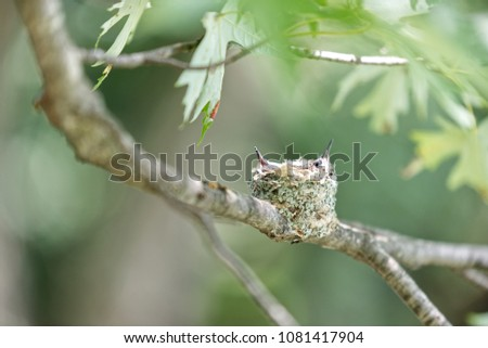 A small, hidden, humming bird nest built on a thin branch, with two chicks in it, peeking their beaks out of the nest looking for food while well camouflaged in the tree.  stock photo