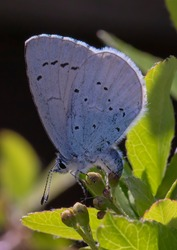 A small Holly Blue Butterfly laying eggs among the foliage..