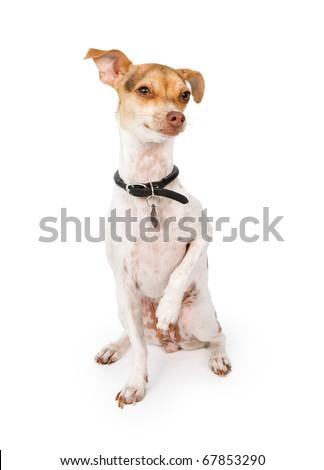 Italian+greyhound+cross+bedlington+terrier