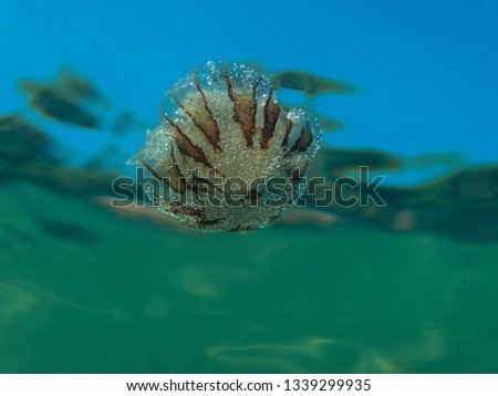 A small jellyfish from the family of compass jellyfish (Chrysaora hysoscella) in the Mediterranean sea. #1339299935