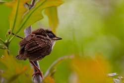 A small juvenile house sparrow (Passer domesticus) is perching on a maple branch in Maryland, USA. The dandelion fuzz on top of its head is characteristic for this species. It is becoming independent