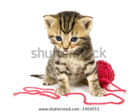 A small kitten sits next to a ball of red yarn on a white background. These kittens are being raised on a farm in central Illinois