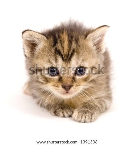 A small kitten takes time to lay down on a white background. This kitten is one of several being raised on a farm in Central Illinois