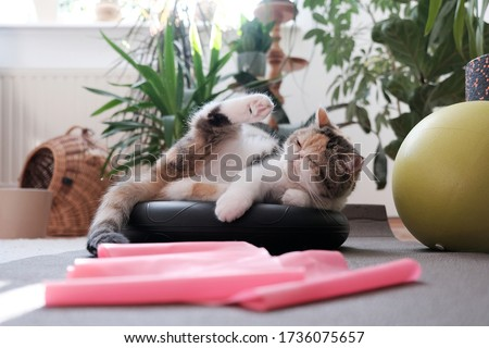 A small kitty among fitness equipment at home - ball, foam pads, pink tape for exercise lying of floor. This is the Exotic cat breed. It is similar to a Persian cat, but has short hair. Photo stock ©