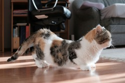 A small kitty in heat is standing in a characteristic position in the room. This is the Exotic cat breed. It is similar to a Persian cat, but has short hair.