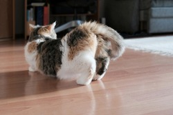 A small kitty in heat is standing in a characteristic position with a raised tail in the room. This is the Exotic cat breed. It is similar to a Persian cat, but has short hair.