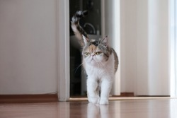 A small kitty in heat is standing with her tail raised in the apartment. This is the Exotic cat breed. It is similar to a Persian cat, but has short hair.
