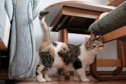 A small kitty in heat is walking restlessly with her tail raised  around the apartment. This is the Exotic cat breed. It is similar to a Persian cat, but has short hair.