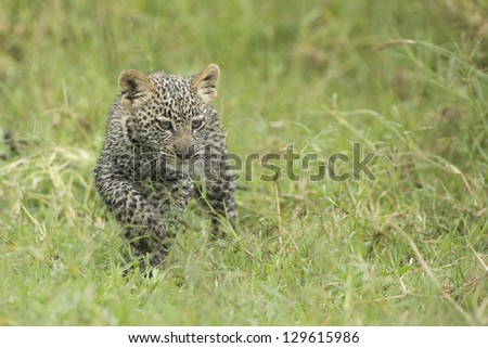 A small Leopard cub walks through grass in Tanzania's Serengeti National Park - stock photo