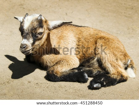 a small light brown goat with white ears and small horns standing on the sand #451288450