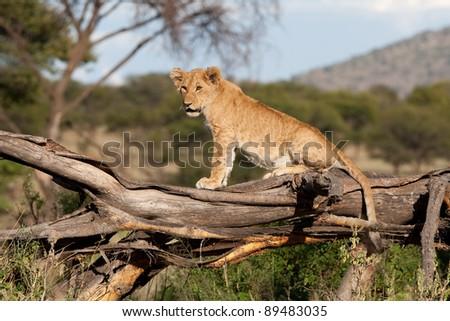 A small lion cub sitting on a fallen tree stump