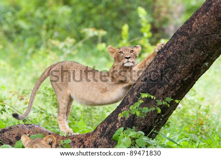 A small lion cub stretching against a tree trunk