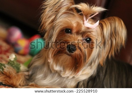 A small, long-haired dog with a pink bow in its hair.