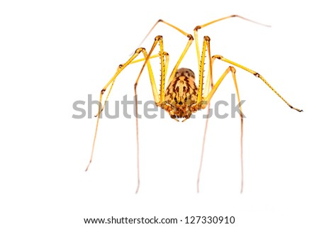A small long-legged spider over a white background. Supermacro - stock photo