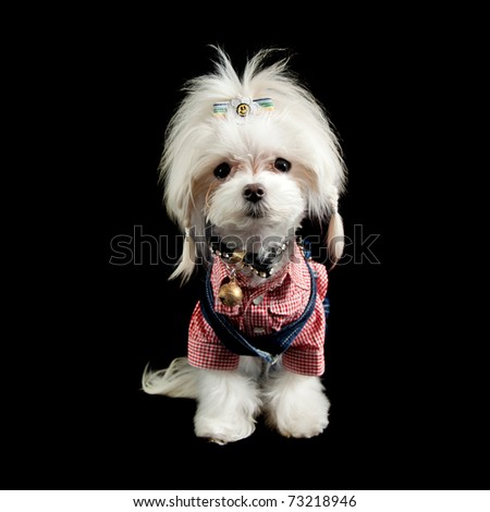 a small maltese terrier dressed up like a hill billy cowgirl with plaited pigtails