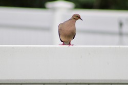 A small mourning dove that's perched on a white PVC fence in a suburban backyard. The medium sized song bird is roosting with only one eye visible looking into the camera.