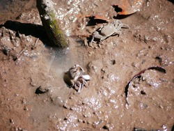 A small mud crab (Scylla sp) with blue claws eating something from the mud.