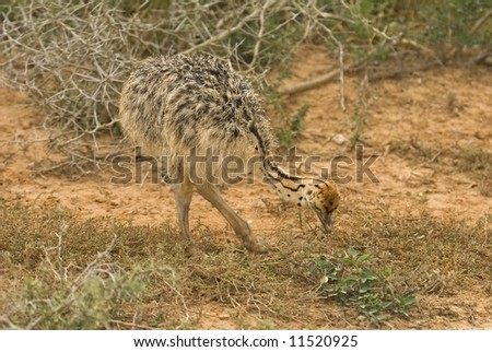 A small Ostrich chick feeds near the photographer