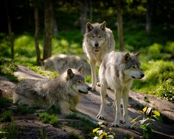 A small pack of three Eastern timber wolves gather on a rocky slope in the North American wilderness.