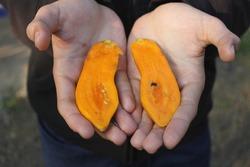 A small papaya, strange but ripe, ready to eat.