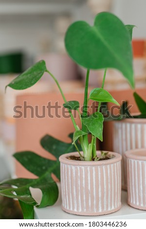 A small philodendron plant in a pink planter Zdjęcia stock ©