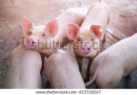 A small piglet in the farm. group of mammal waiting feed. swine in the stall. - Shutterstock ID 615518267