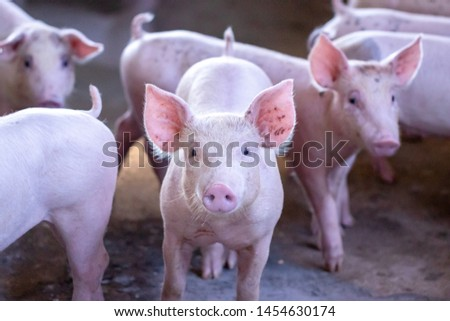 A small piglet in the farm. group of mammal waiting feed. swine in the stall. Popular animals raised around the world for meat consumption and business trading. (Sus scrofa domesticus) Сток-фото ©
