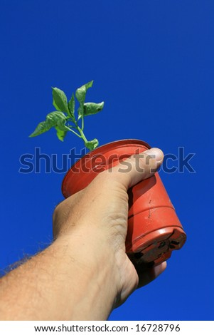 A small plant pot being held in the hand containing a young pepper plant. Set against a bright clear blue sky background.
