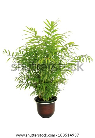 A Small Potted Bamboo Palm Isolated on White #183514937