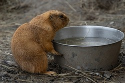 A small prairie dog eating and drinking water from a bowl. A cute furry cynomys sitting upright. A little herbivorous mammal outdoors in a national park. A cute and durious creature sitting in a zoo.