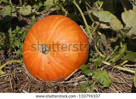 a small pumpkin on the vine growing in a garden