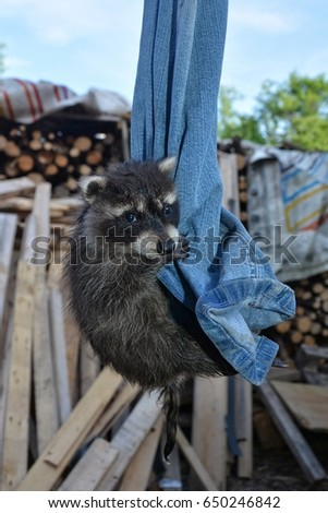 A small racoon - baby hangs on jeans with blue sky #650246842