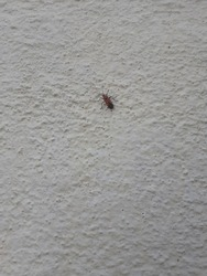 A Small red bug with two black spots on its back crawling a rough wall in a garden