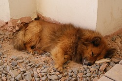 A small red fluffy dog is fast asleep on the ground near the wall of the house.