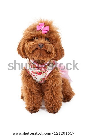 A small red poodle dog wearing a pink outfit and pearl and rhinestone collars sitting against a white background