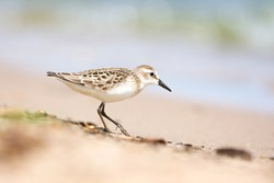 A small sanderling shorebird foraging on a sandy beach on a bright sunny day