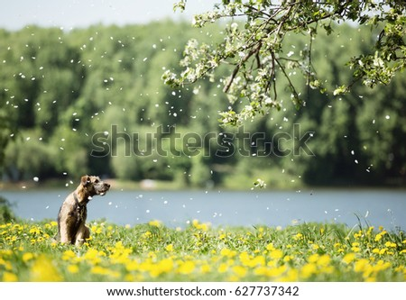 A small shaggy brown puppy lonely sits on the river bank in yellow flowers, under a branch of a falling cherry, the wind beautifully spreads the petals, the dog looks away. #627737342