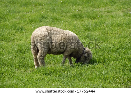 A small sheep is eating fresh green grass
