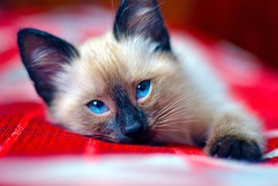 a small Siamese kitten with blue eyes lies on a red veil