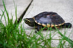 A small snail-eating turtle slowly crawling across the white concretes covered with grasses