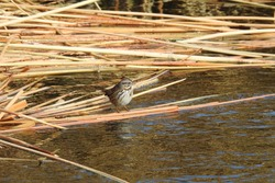 A small song sparrow perched on the broken reeds that are floating in the Owens River, in Inyo County, California.