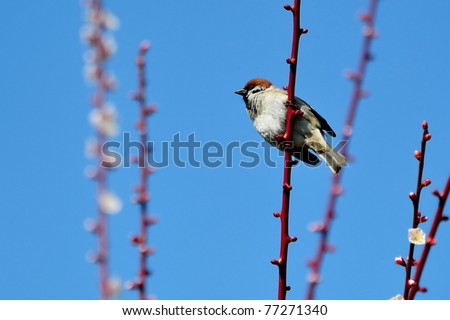 A small sparrow perching on the branch of plum tree in spring