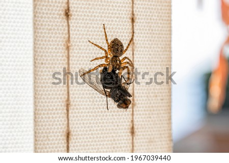 A small spider attacked and trapped a fly. The arachnid kills the insect by biting it with its fangs. Macro photography, close-up. The predator catches and eats the prey. Foto stock ©