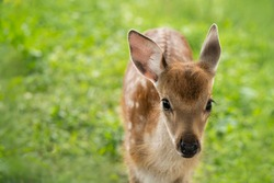A small spotted fawn stands against a background of green grass and looks at the camera