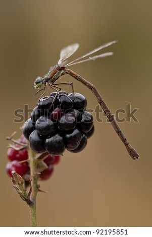 A Small Spreadwing (Lestes Virens) resting on a blue berry