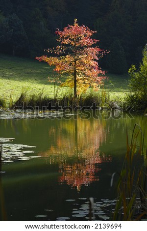 A small tree, in fall, photograph taken contre-jour in the early morning light.