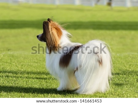 A small white and red papillon dog (aka Continental toy spaniel) standing on the grass looking very friendly and beautiful - stock photo